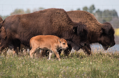 U of S researchers make strides in repopulating wood bison herd
