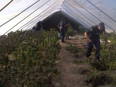 Major marijuana bust on Little Black Bear First Nation