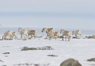 "Conservation group launches ""Caribou for the Future"" campaign"