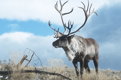 Caribou commitment questioned