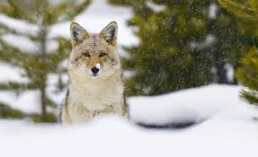 Cashing in on coyotes