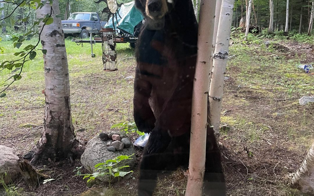 La Ronge conservation officers dealing with black bears in residential areas